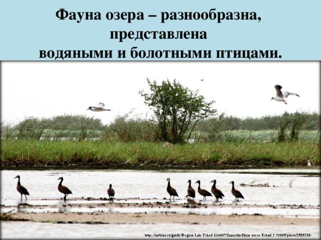 Фауна озера – разнообразна,  представлена  водяными и болотными птицами.