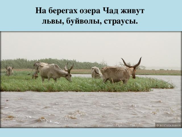 На берегах озера Чад живут  львы, буйволы, страусы.
