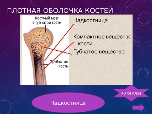 ПЛОТНАЯ ОБОЛОЧКА КОСТЕЙ 40 баллов Надкостница