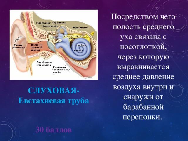 Посредством чего полость среднего уха связана с носоглоткой, через которую выравнивается среднее давление воздуха внутри и снаружи от барабанной перепонки. СЛУХОВАЯ- Евстахиевая труба 30 баллов