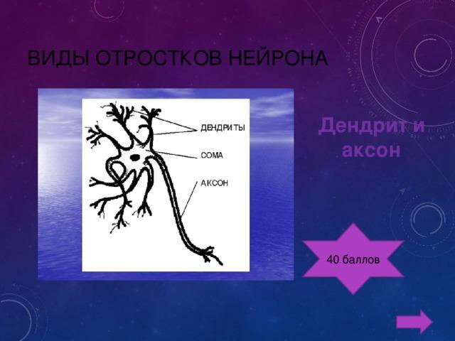 ВИДЫ ОТРОСТКОВ НЕЙРОНА   Дендрит и аксон 40 баллов