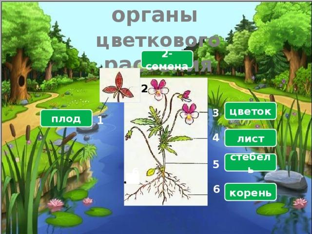 Назовите органы  цветкового растения 2-семена  2 цветок 3 плод 1 лист 4 стебель 5 6 6 корень