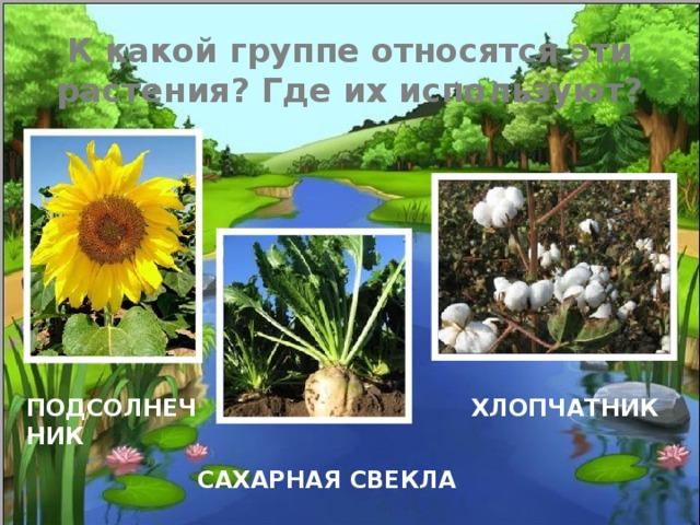 К какой группе относятся эти растения? Где их используют? ПОДСОЛНЕЧНИК ХЛОПЧАТНИК САХАРНАЯ СВЕКЛА