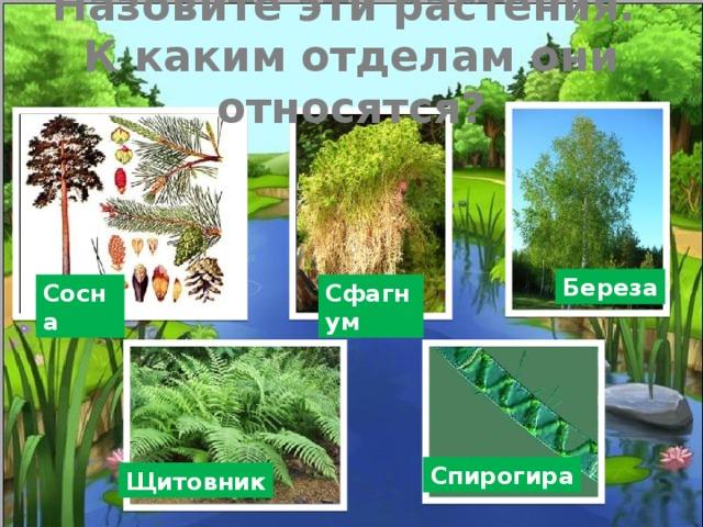 Назовите эти растения.  К каким отделам они относятся? Береза Сосна Сфагнум Спирогира Щитовник