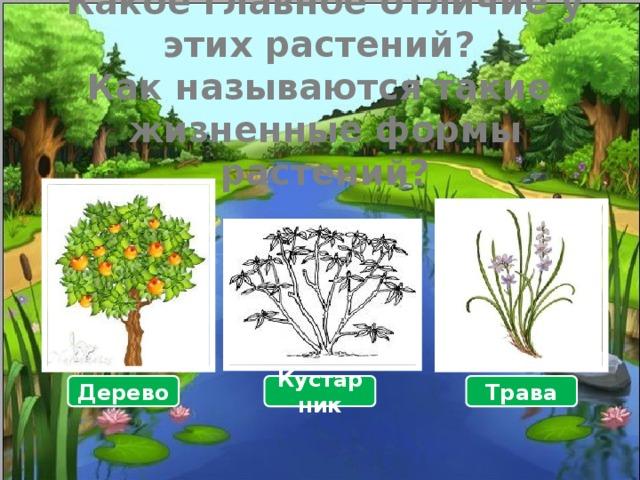 Какое главное отличие у этих растений?  Как называются такие  жизненные формы растений? Дерево Кустарник Трава