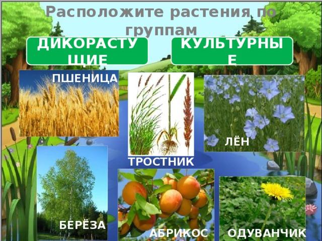 Расположите растения по группам ДИКОРАСТУЩИЕ КУЛЬТУРНЫЕ ПШЕНИЦА ЛЁН ТРОСТНИК БЕРЁЗА ОДУВАНЧИК АБРИКОС