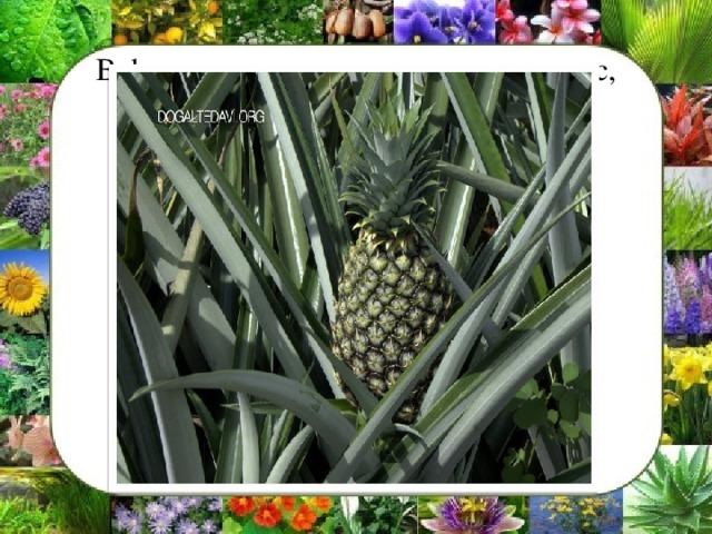 В форму алоэ включены агавы, ананас, панданусовые и другие растения.