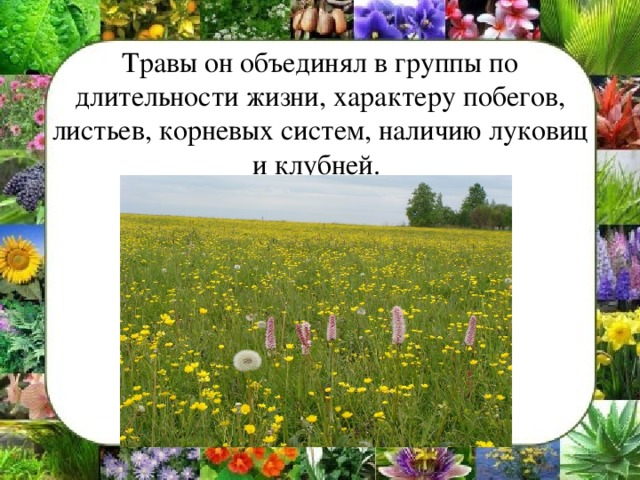 Травы он объединял в группы по длительности жизни, характеру побегов, листьев, корневых систем, наличию луковиц и клубней.