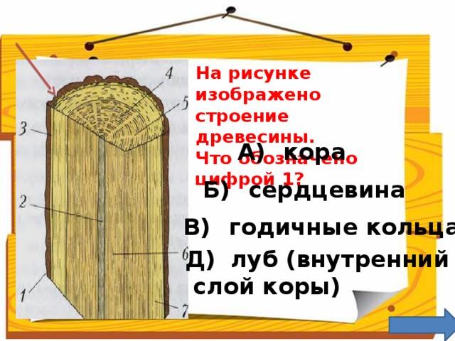 На рисунке изображено строение древесины. Что обозначено цифрой 1? А)  кора Б)  сердцевина В)  годичные кольца Д)  луб (внутренний  слой коры)