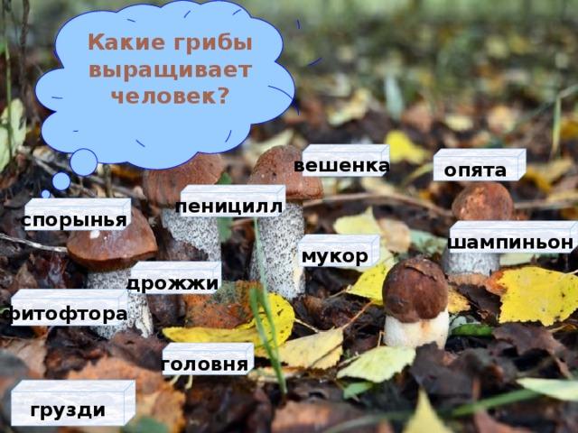 Какие грибы выращивает человек? вешенка опята пеницилл спорынья шампиньон мукор дрожжи фитофтора головня грузди