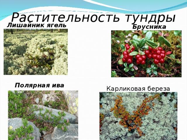Растительность тундры Лишайник ягель Брусника Полярная ива Карликовая береза