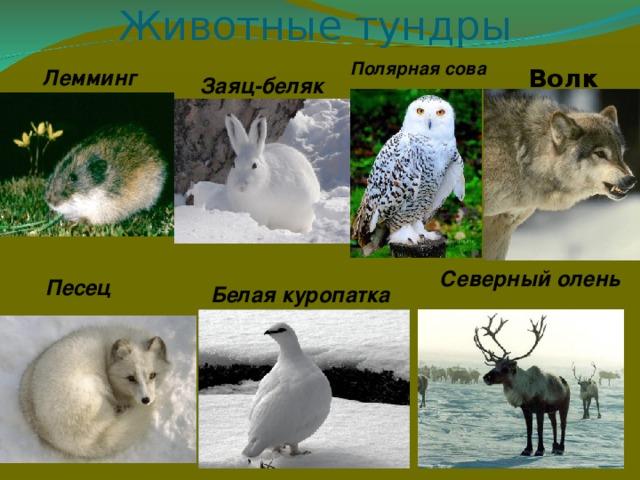 Животные тундры Полярная сова Волк Лемминг Заяц-беляк Северный олень Песец Белая куропатка