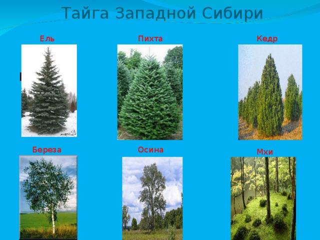 Тайга Западной Сибири Ель Пихта Кедр Береза Береза Осина Мхи