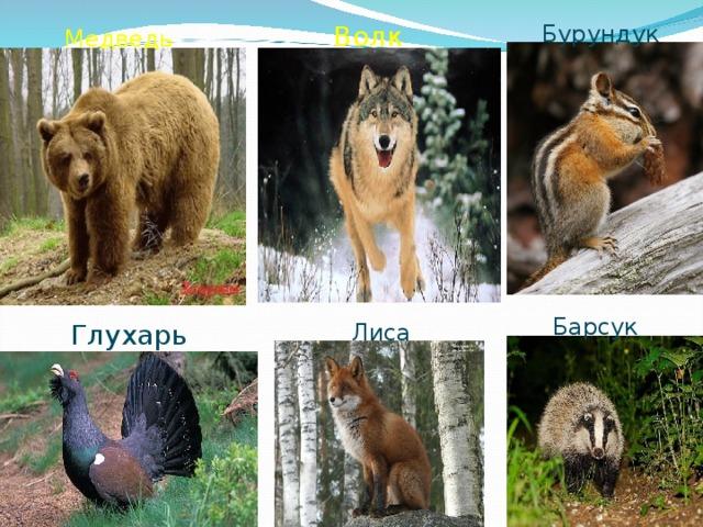 Бурундук Волк Медведь Барсук Глухарь Лиса