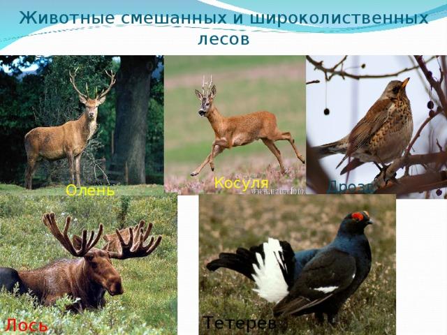 Животные смешанных и широколиственных лесов Косуля Дрозд Олень Тетерев Лось