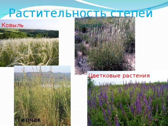 Растительность степей Ковыль Тонконог Цветковые растения Типчак