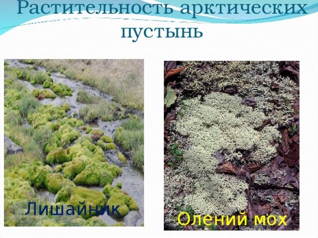 Растительность арктических пустынь Лишайник Олений мох