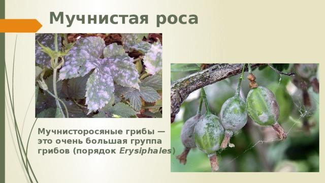 Мучнистая роса Мучнисторосяные грибы — это очень большая группа грибов (порядок Erysiphales )