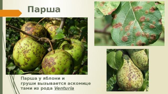 Парша Парша у яблони и грушивызываетсяаскомицетамииз рода Venturia