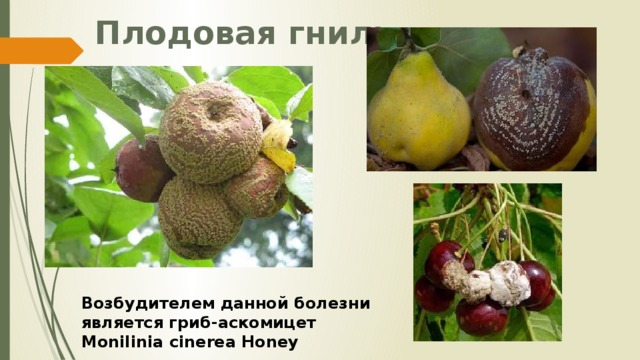 Плодовая гниль Возбудителем данной болезни является гриб-аскомицет Monilinia cinerea Honey
