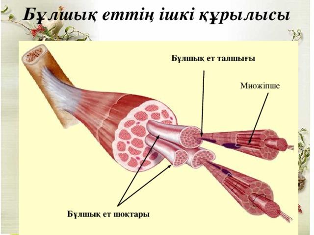 Бұлшық еттің ішкі құрылысы Бұлшық ет талшығы Миожіпше Бұлшық ет шоқтары