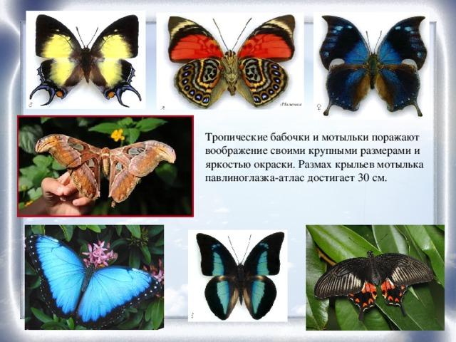 Тропические бабочки и мотыльки поражают воображение своими крупными размерами и яркостью окраски. Размах крыльев мотылька павлиноглазка-атлас достигает 30 см.
