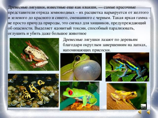 Древесные лягушки, известные еще как квакши, — самые красочные представители отряда земноводных – их расцветка варьируется от желтого и зеленого до красного и синего, смешанного с черным. Такая яркая гамма – не просто причуда природы, это сигнал для хищников, предупреждающий об опасности. Выделяет ядовитый токсин, способный парализовать, оглушить и убить даже большое животное Древесные лягушки лазают по деревьям благодаря округлым завершениям на лапках, напоминающих присоски.