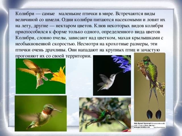 Колибри— самые маленькие птички в мире. Встречаются виды величиной со шмеля. Одни колибри питаются насекомыми и ловят их на лету, другие — нектаром цветов. Клюв некоторых видов колибри приспособился к форме только одного, определенного вида цветов Колибри, словно пчелы, зависают над цветком, махая крылышками с необыкновенной скоростью. Несмотря на крохотные размеры, эти птички очень драчливы. Они нападают на крупных птиц и зачастую прогоняют их со своей территории.