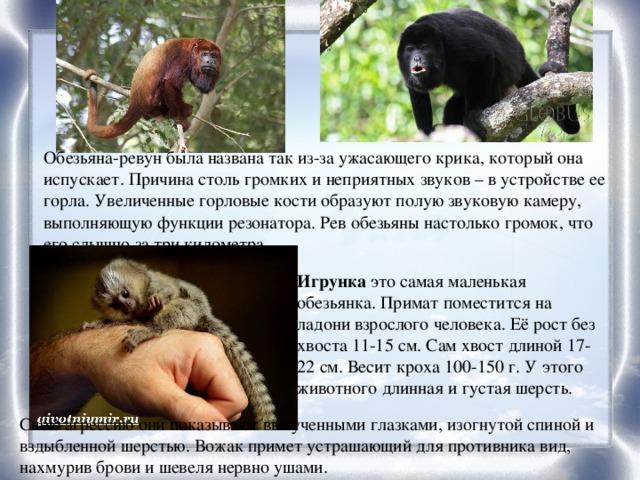 Обезьяна-ревун была названа так из-за ужасающего крика, который она испускает. Причина столь громких и неприятных звуков – в устройстве ее горла. Увеличенные горловые кости образуют полую звуковую камеру, выполняющую функции резонатора. Рев обезьяны настолько громок, что его слышно за три километра. Игрунка это самая маленькая обезьянка. Примат поместится на ладони взрослого человека. Её рост без хвоста 11-15 см. Сам хвост длиной 17-22 см. Весит кроха 100-150 г. У этого животного длинная и густая шерсть. Свою агрессию они показывают выпученными глазками, изогнутой спиной и вздыбленной шерстью. Вожак примет устрашающий для противника вид, нахмурив брови и шевеля нервно ушами.