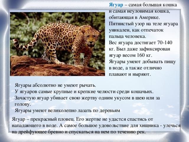 Ягуар – самая большая кошка и самая неуловимая кошка, обитающая в Америке. Пятнистый узор на теле ягуара уникален, как отпечаток пальца человека. Вес ягуара достигает 70-140 кг. Был даже зафиксирован ягуар весом 160 кг. Ягуары умеют добывать пищу в воде, а также отлично плавают и ныряют. Ягуары абсолютно не умеют рычать. У ягуаров самые крупные и крепкие челюсти среди кошачьих. Зачастую ягуар убивает свою жертву одним укусом в шею или за голову. Ягуары умеют великолепно лазать по деревьям Ягуар – прекрасный пловец. Его жертве не удастся спастись от нападающего в воде. А самое большое удовольствие для хищника - улечься на дрейфующее бревно и спускаться на нем по течению рек.