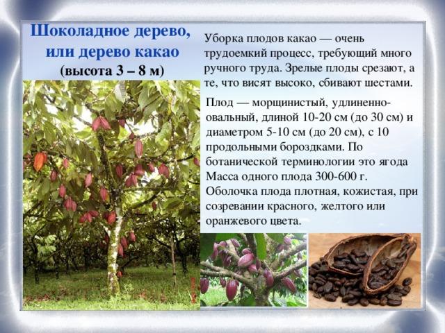 Шоколадное дерево, или дерево какао (высота 3 – 8 м) Уборка плодов какао — очень трудоемкий процесс, требующий много ручного труда. Зрелые плоды срезают, а те, что висят высоко, сбивают шестами. Плод — морщинистый, удлиненно-овальный, длиной 10-20 см (до 30 см) и диаметром 5-10 см (до 20 см), с 10 продольными бороздками. По ботанической терминологии это ягода Масса одного плода 300-600 г. Оболочка плода плотная, кожистая, при созревании красного, желтого или оранжевого цвета.