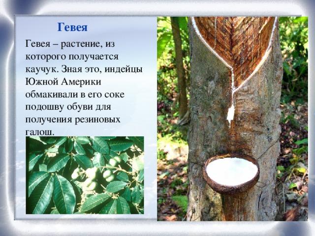 Гевея Гевея – растение, из которого получается каучук. Зная это, индейцы Южной Америки обмакивали в его соке подошву обуви для получения резиновых галош.