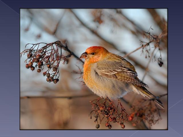 Вот птичка так птичка,  Не дрозд, не синичка,  Не лебедь, не утка  И не козодой.  Но эта вот птичка,  Хоть и невеличка,  Выводит птенцов  Только лютой зимой!