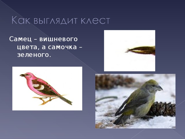 Самец – вишневого цвета, а самочка – зеленого.