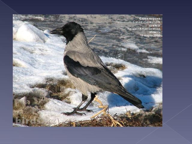 Серо-чёрная та птица,  Говорят, никак, певица.  Мол, как каркать прекращает,  Птицам певчим подражает.