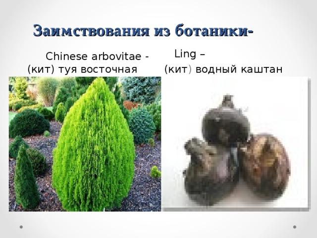 Заимствования из ботаники-       Ling –  (кит ) водный  каштан  Chinese arbovitae - ( кит) туя восточная