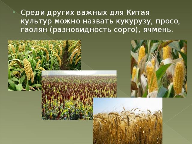 Среди других важных для Китая культур можно назвать кукурузу, просо, гаолян (разновидность сорго), ячмень.
