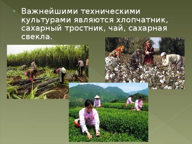 Важнейшими техническими культурами являются хлопчатник, сахарный тростник, чай, сахарная свекла.