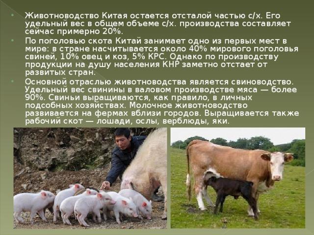 Животноводство Китая остается отсталой частью с/х. Его удельный вес в общем объеме с/х. производства составляет сейчас примерно 20%. По поголовью скота Китай занимает одно из первых мест в мире: в стране насчитывается около 40% мирового поголовья свиней, 10% овец и коз, 5% КРС. Однако по производству продукции на душу населения КНР заметно отстает от развитых стран. Основной отраслью животноводства является свиноводство. Удельный вес свинины в валовом производстве мяса — более 90%. Свиньи выращиваются, как правило, в личных подсобных хозяйствах. Молочное животноводство развивается на фермах вблизи городов. Выращивается также рабочий скот — лошади, ослы, верблюды, яки.