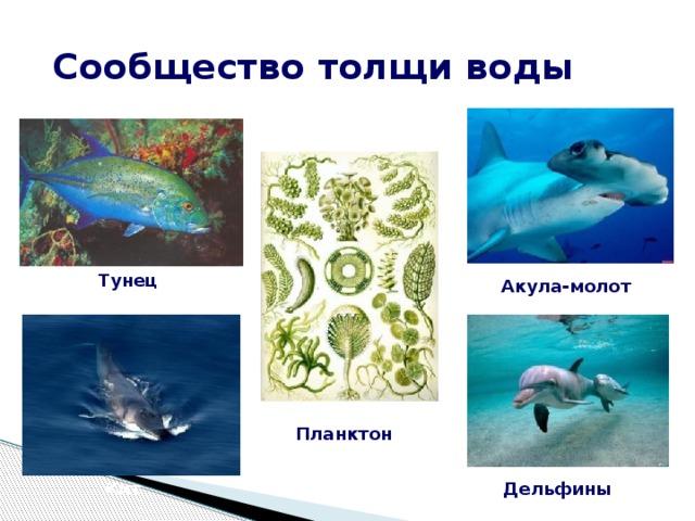 Сообщество толщи воды Тунец Акула-молот Планктон Кит Дельфины