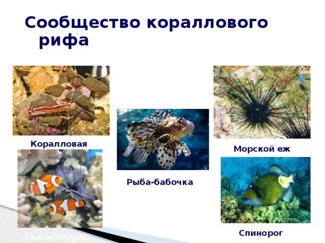 Сообщество кораллового рифа Коралловая креветка Морской еж Рыба-бабочка Спинорог Рыбы-клоуны