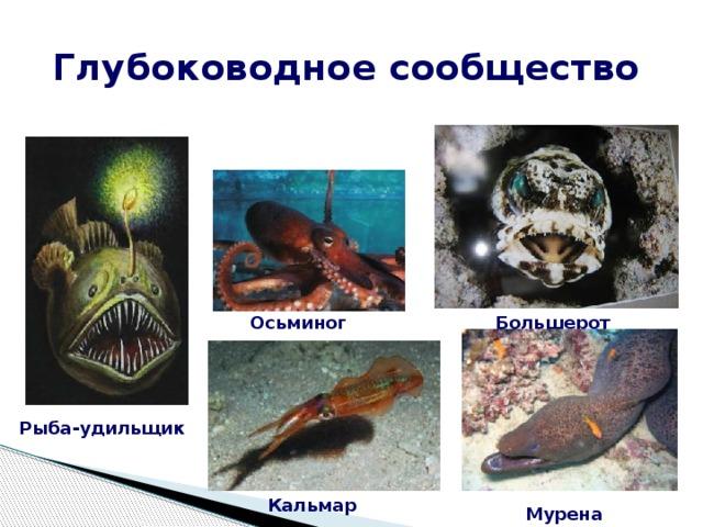 Глубоководное сообщество Большерот Осьминог Рыба-удильщик Кальмар Мурена