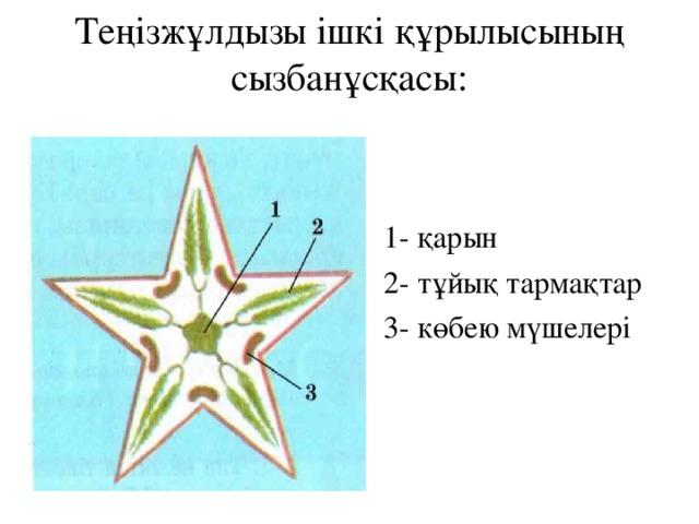 Теңізжұлдызы ішкі құрылысының сызбанұсқасы: 1- қарын 2- тұйық тармақтар 3- көбею мүшелері