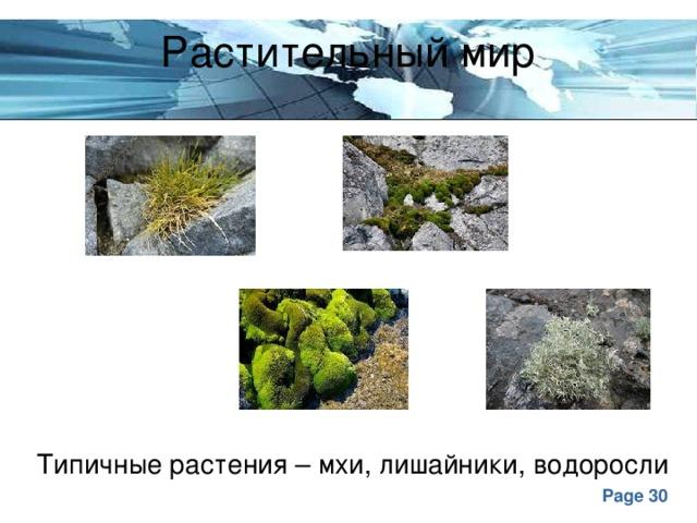 Растительный мир Типичные растения – мхи, лишайники, водоросли