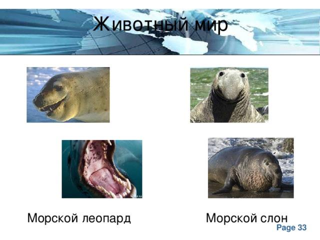 Животный мир Морской леопард Морской слон