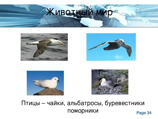Животный мир Птицы – чайки, альбатросы, буревестники поморники