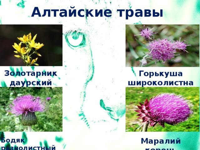 Алтайские травы Золотарник даурский Горькуша широколистная Маралий корень Бодяк разнолистный