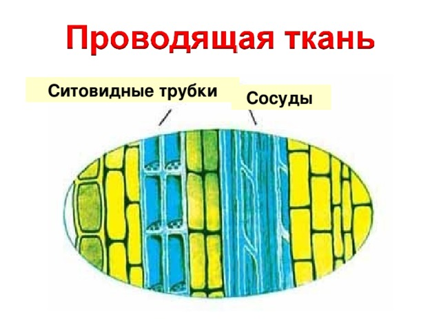 Ситовидные трубки Сосуды