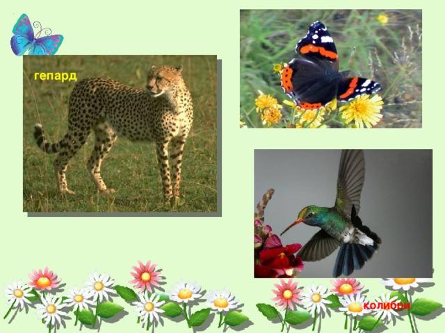гепард колибри