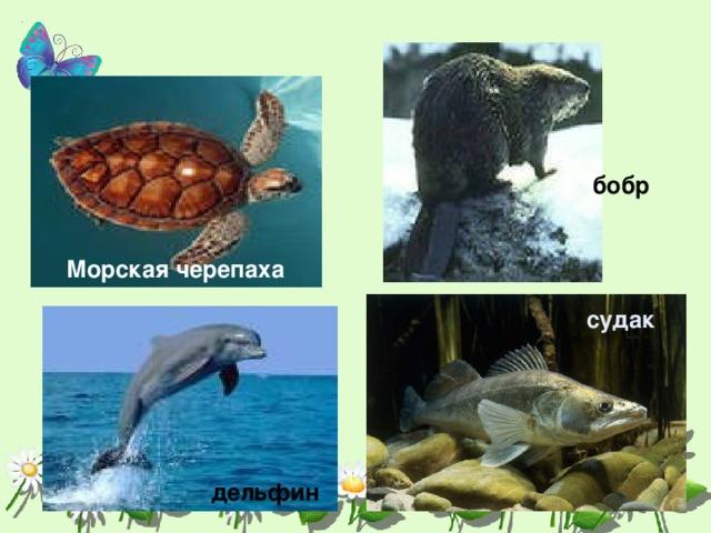 бобр Морская черепаха судак дельфин